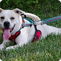 Labrador Retriever Mix Dog for adoption in Midlothian, Virginia - Stella
