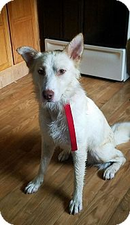Shepherd (Unknown Type)/Australian Shepherd Mix Dog for adoption in LaGrange, Kentucky - DEUCE