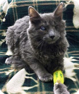 Domestic Mediumhair Cat for adoption in Riverside, California - Orion