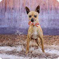 Adopt A Pet :: PePe - Lubbock, TX