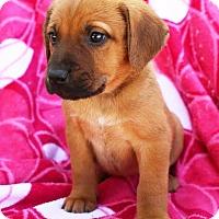 Adopt A Pet :: Helga - Washington, DC