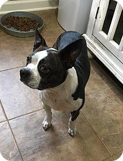Boston Terrier Dog for adoption in Brattleboro, Vermont - Britches