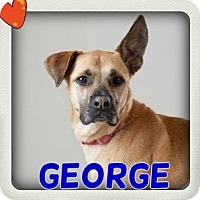 Adopt A Pet :: George - Middletown, NY
