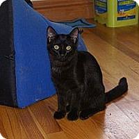 Adopt A Pet :: Boston Blackie - Portland, ME