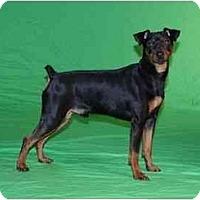 Adopt A Pet :: Shadow - Nashville, TN