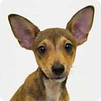 Adopt A Pet :: Petrie - Mission Viejo, CA