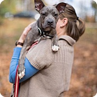 Adopt A Pet :: Amelia - Reisterstown, MD
