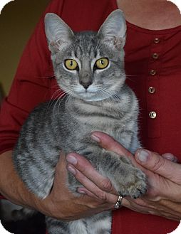 Domestic Shorthair Kitten for adoption in Surrey, British Columbia - Spice