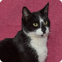 Domestic Shorthair Cat for adoption in Elmwood Park, New Jersey - Emily