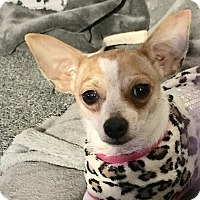 Adopt A Pet :: Pippa - Los Angeles, CA