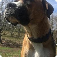 Adopt A Pet :: Harley - Champaign, IL