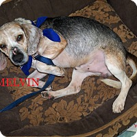 Adopt A Pet :: MELVIN - Ventnor City, NJ