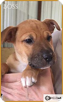 Shar Pei/Shepherd (Unknown Type) Mix Puppy for adoption in DeForest, Wisconsin - Boss