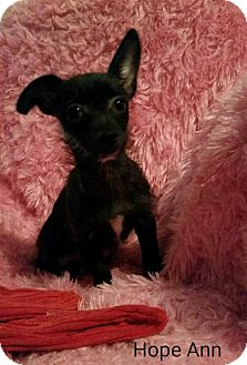 Chihuahua Mix Puppy for adoption in Philadelphia, Pennsylvania - Hope Ann