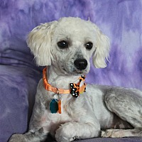 Adopt A Pet :: Bailey - Wichita, KS