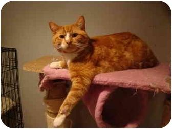 Domestic Shorthair Cat for adoption in Muncie, Indiana - Moe--PETSMART