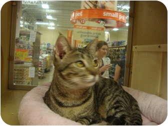 Domestic Shorthair Cat for adoption in Owasso, Oklahoma - Petsmart Mindy II