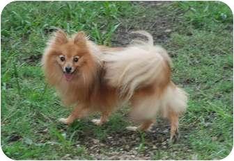 Pomeranian Dog for adoption in Virginia Beach, Virginia - Taylor