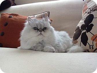 Persian Cat for adoption in Naples, Florida - Zoe