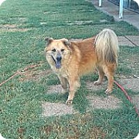 Chow Chow/Collie Mix Dog for adoption in Eddy, Texas - Woody