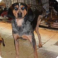 Adopt A Pet :: Luke Skywalker - Bakersville, NC