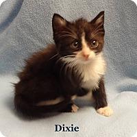 Adopt A Pet :: Dixie - Bentonville, AR