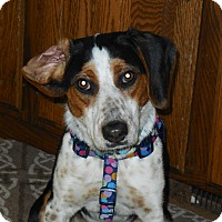 Adopt A Pet :: Darling - Whiting, IN