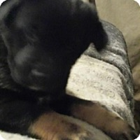 Adopt A Pet :: Puppy 5 - Northumberland, ON