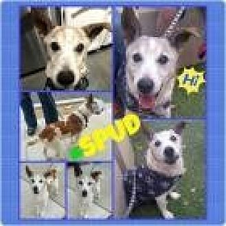 Jack Russell Terrier Mix Dog for adoption in Scottsdale, Arizona - Spud
