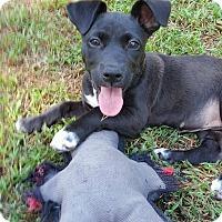 Adopt A Pet :: Daffney - Richmond, VA