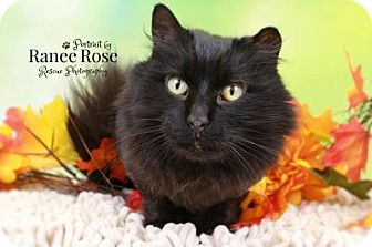 Domestic Longhair Cat for adoption in Sterling Heights, Michigan - Simone