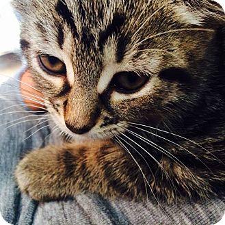Domestic Shorthair Kitten for adoption in Lindsay, Ontario - Pumpkin