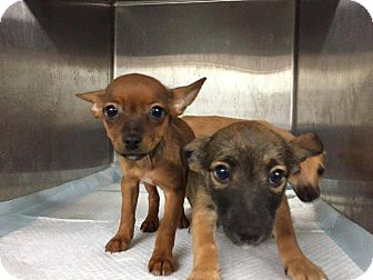 Chihuahua Mix Puppy for adoption in Danbury, Connecticut - Isabel