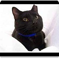Adopt A Pet :: Cola - Merrifield, VA