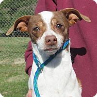 Adopt A Pet :: Jersey Girl - Reeds Spring, MO