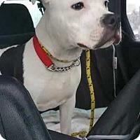 Adopt A Pet :: Bingo - Ardsley, NY