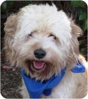 Cocker Spaniel/Poodle (Miniature) Mix Dog for adoption in Encinitas, California - Stanley
