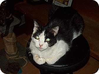 Domestic Shorthair Cat for adoption in San Diego/Imperial Beach, California - Domino