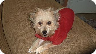 Yorkie, Yorkshire Terrier Dog for adoption in Raleigh, North Carolina - Violet