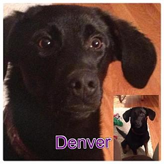 Labrador Retriever/German Shepherd Dog Mix Puppy for adoption in Garden City, Michigan - Denver