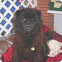 Chow Chow Dog for adoption in Marina del Rey, California - Selena