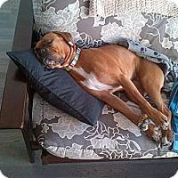 Adopt A Pet :: Zula - Montreal, QC