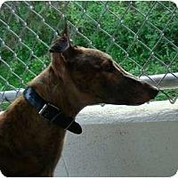 Adopt A Pet :: Rodney - Windsor Heights, WV