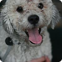 Adopt A Pet :: Bruno - Canoga Park, CA