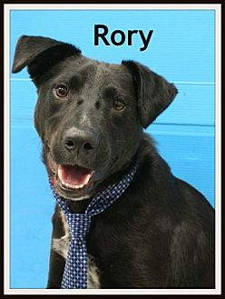 Labrador Retriever Mix Dog for adoption in Houston, Texas - Rory
