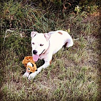 American Pit Bull Terrier/Labrador Retriever Mix Dog for adoption in Georgetown, Texas - Cinnamon