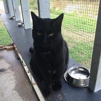 Domestic Shorthair Cat for adoption in Thibodaux, Louisiana - Tinker FE2-8954
