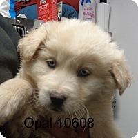 Adopt A Pet :: opal - Greencastle, NC