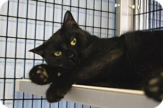 Domestic Shorthair Cat for adoption in New Milford, Connecticut - Trinity