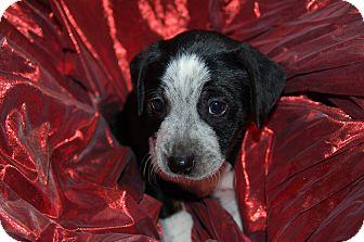 Labrador Retriever/Blue Heeler Mix Puppy for adoption in Lebanon, Tennessee - TITAN